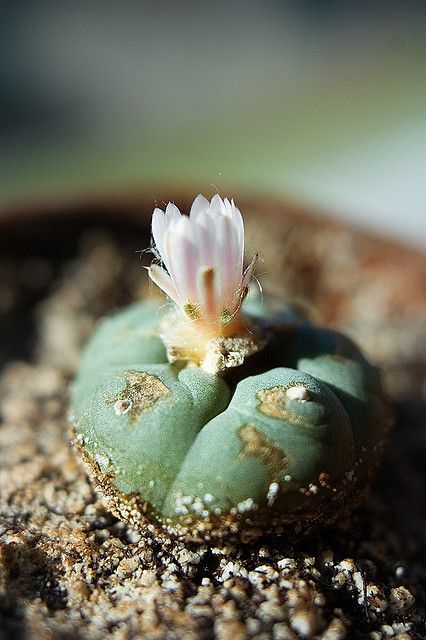 mentalfornication:    Flowering Peyote by Famewhore on Flickr.