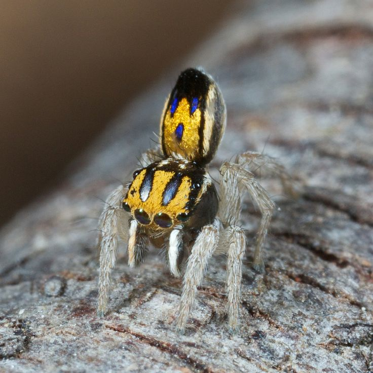 Purcell's peacock spider (Maratus purcellae) - Jurgen Otto