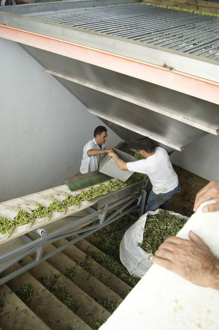 Dosificando el flujo de aceitunas hacia el molino. Dosing the olives to the mill stream. #Tartessus #AOVE #EVOO #Organic
