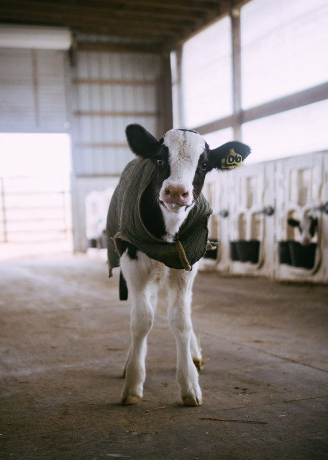 Regenipet Cute Animals Cute Baby Animals Cow Pictures