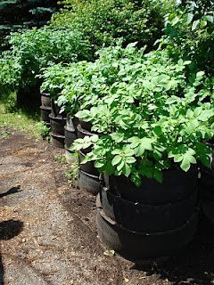 More about potato tire gardening.