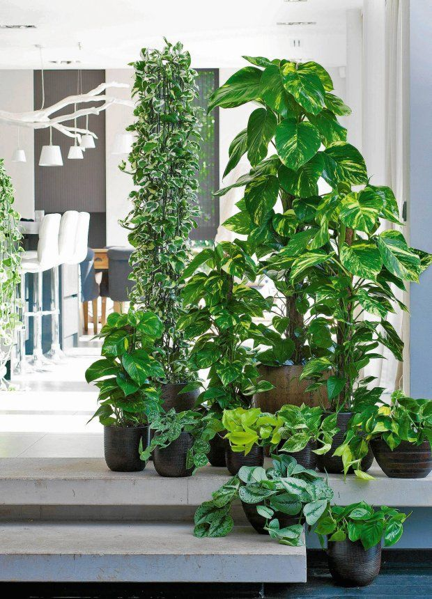 Roślinne kolumny. Po podpórkach wspinają się scindapsusy (z przodu) i bluszcz kanaryjski o biało-zielonych liściach (z tyłu).