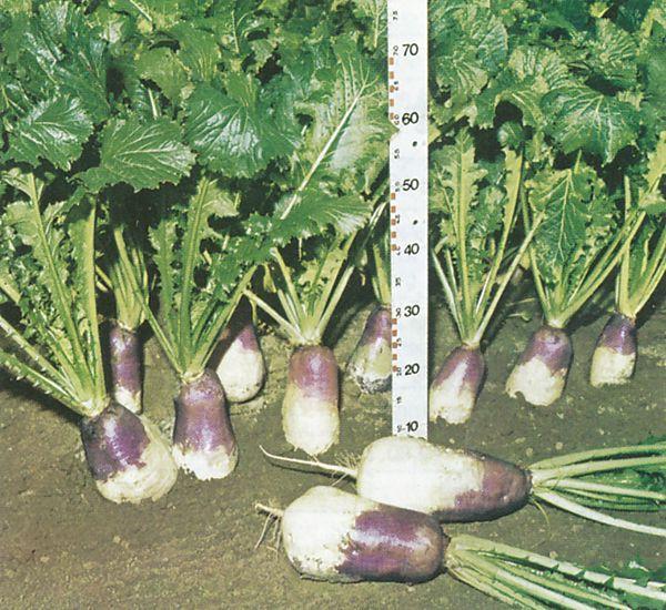 Herbstrüben sorgen in der kalten Jahreszeit für ein ausreichendes Nahrungsangebot.