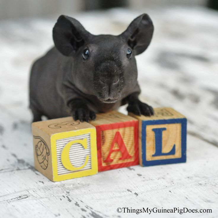 Crunchy Black, our naked, or hairless guinea pig!    Skinny Pig