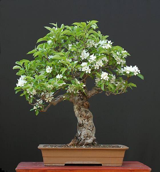bonsai trees  60 year old Crabapple Tree