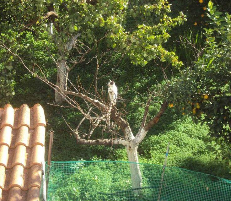 Γάτα ακροβάτης σκαρφαλώνει στα κλαδιά των δέντρων