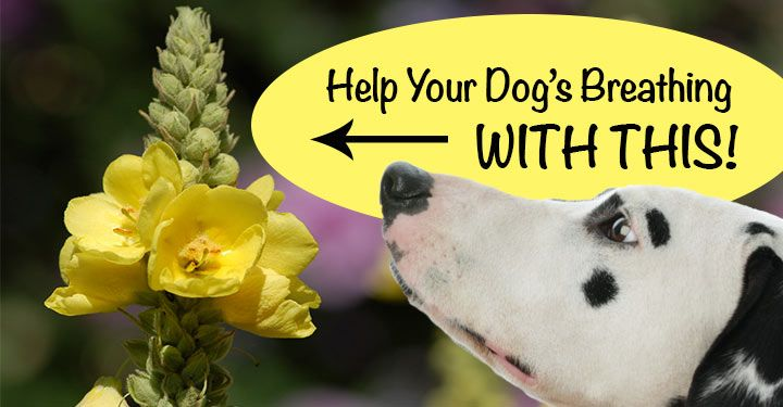 Check out how this magical mystery herb can help soothe/clear up 3 common issues your dog might be dealing with. Plus a bonus DIY Mullein Mix!