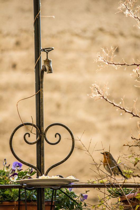 robin - birds - birdwatching