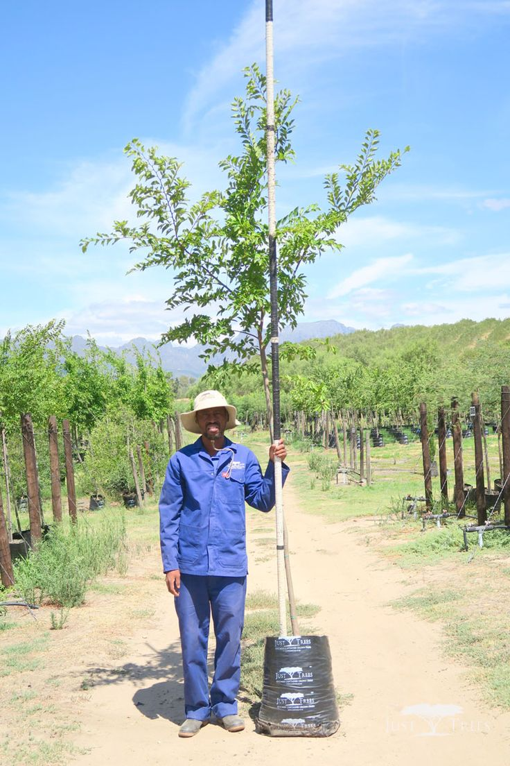 40L Celtis sinensis. This deciduous tree is capable of growing to an impressive height. Able to grow in a variety of conditions, it is a popular choice for a large garden and parks. This specimen would work beautifully both as an avenue and as a windbreak.