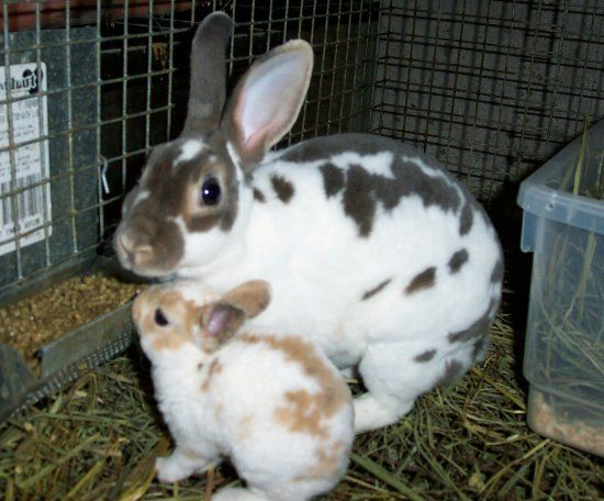 Mini-Rex rabbit doe and baby | Bunnys | Pinterest