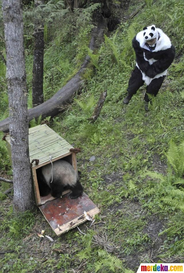 Seorang peneliti mengenakan kostum panda menutup pintu setelah panda raksasa Tao Tao masuk ke kandang sebelum dipindahkan ke lingkungan hidup yang baru di Hetaoping Penelitian dan Pusat Konservasi Giant Panda di Wolong Cagar Alam Nasional, Provinsi Sichuan.