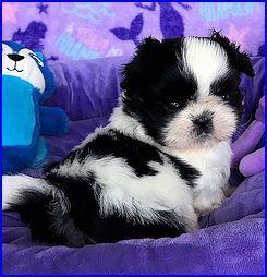 Mr Foo S Shih Tzu Of Indiana Kentucky Missouri Illinios Ohio Michigan Shih Tzu Puppy Nursery Home Bred Champion Sh Adorable Little Creatures Shih