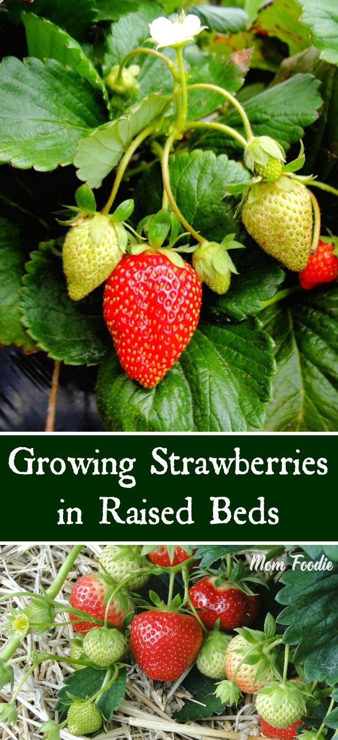 Strawberry Garden Ideas diy strawberry planter Growing Strawberries In Raised Beds Tips For A Successful Raised Bed Strawberry Garden