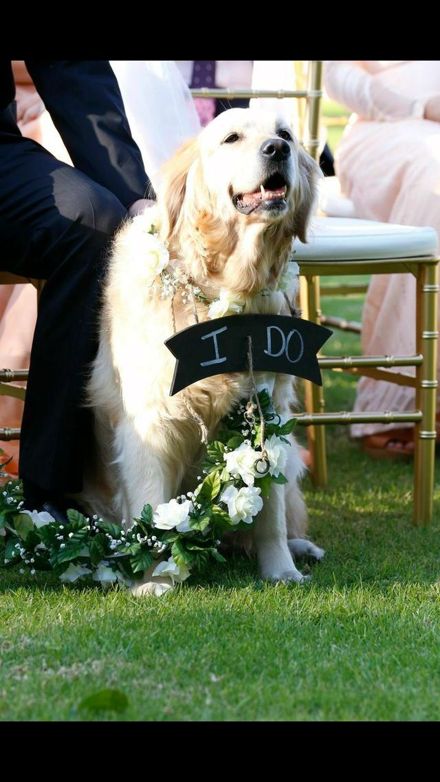 Golden retriever as ring bearer in our wedding.