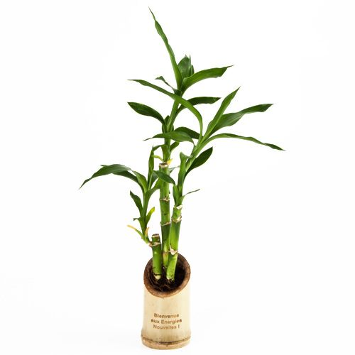 1000 id es sur le th me lucky bamboo plants sur pinterest for Plante interieur bambou