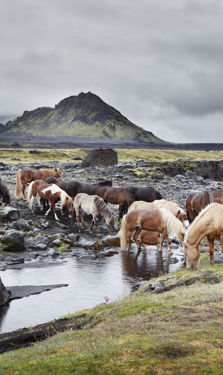 The Icelandic horse breed comes in many coat colors, including chestnut, bay, dun, black, gray, palomino, roan, and pinto. There are over 100 names for its various colors and patterns in the Icelandic language. Photo by Gigja.