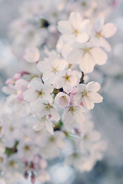 櫻花 Cherry Blossom