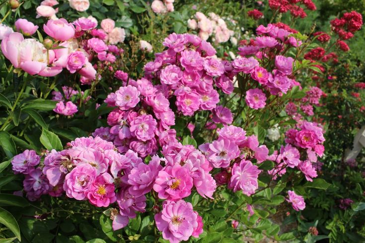 Les roses du jardin secret: Rosier polyantha