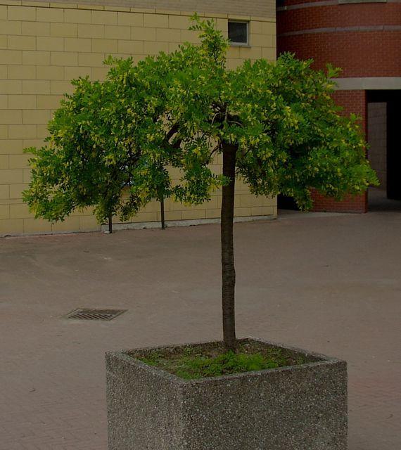 Caragana arborescens - Tree Seeds - Siberian Pea Tree, Siberian Peashrub :: Seeds for Sale, Tree seeds, Shrub seeds, Flower seeds, Vine seeds, Herb seeds,Grass seeds, Vegetable seeds