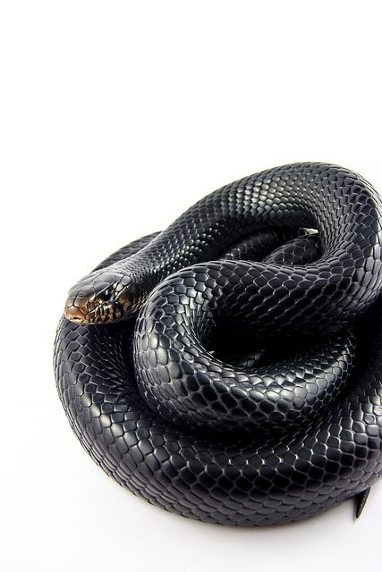 Another one of my favorites: The Eastern Indigo is immune to Rattle Snake Venom and can reach up 9 feet long. (THIS is why I don't have friends!)