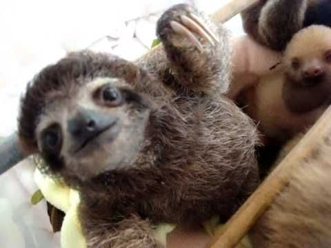 Volunteer with  Aviarios Sloth Rescue Center shares his video footage!