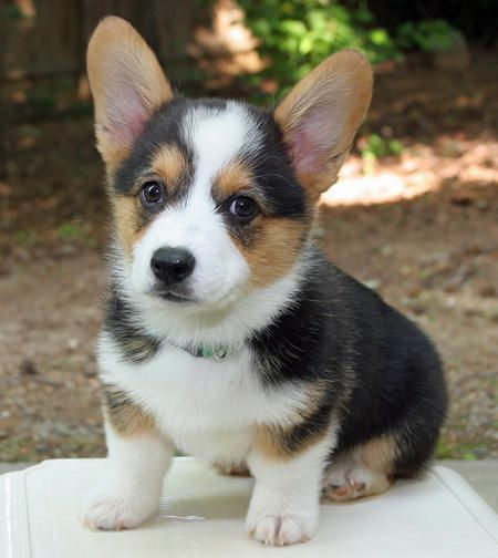 Miles the Pembroke Welsh Corgi. Smallest paws I've ever seen for that big head!