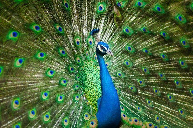 Male peacock http://ift.tt/2rXSkFD