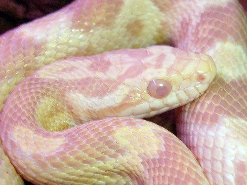 albino corn snake...why is Albino Gorilla all white but Albino Snake pink? Mmmmm??
