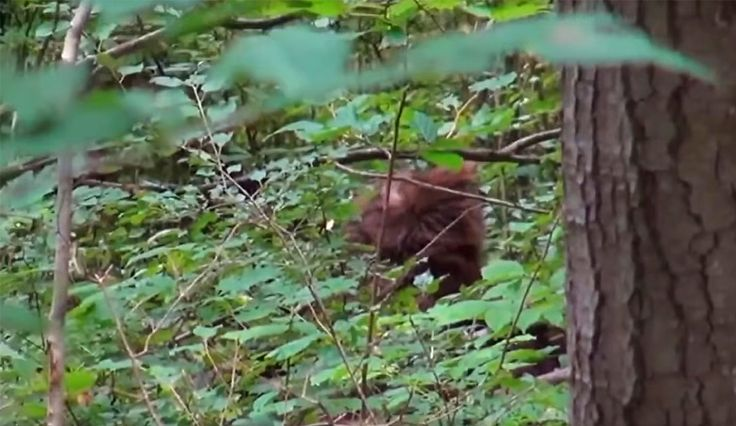 VIDEO STILL: The 'Big Red' Sasquatch recorded in Ontario