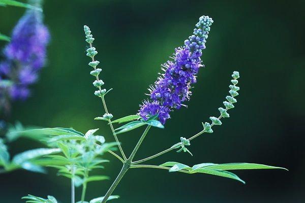 Herbs For Maintaining Hormonal Balance in Women's use Chasteberry