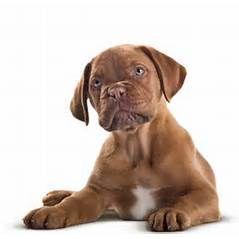 yorkshire puppies for sale ontario toronto