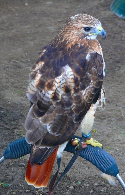 red-tailed hawk facts - red-tailed hawk