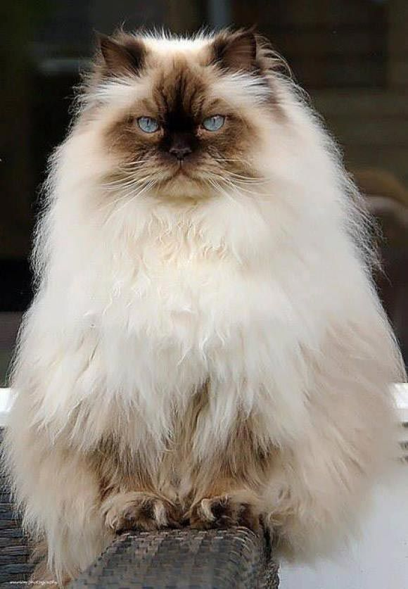 Самые пушистые кошки в мире фото даю