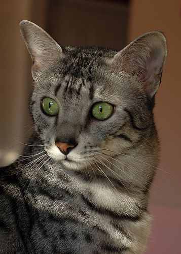 The Egyptian Mau's face is adorned with an M-shaped mark on the forehead and two black streaking lines across its cheeks.
