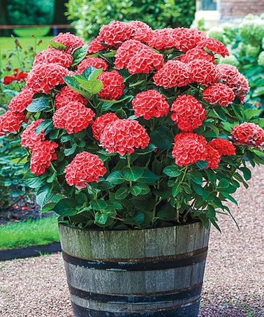 Love this Live 'Forever Red' Hydrangea - Set of Two by Michigan Bulb Company on #zulily! #zulilyfinds