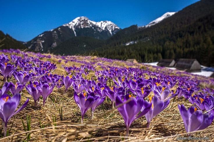 Krokusy: Tatra Mountain