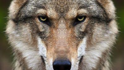 Sono ricomparsi e le paure e i timori sopiti da tempo sono tornati a galla. Ormai la loro presenza è segnalata in ogni dove nella valle. I lupi sono riapparsi in tutta la Garfagnana, ma loro erano già nelle nostre terre ai tempi delle invasioni barbariche in Italia. Da quei tempi le leggende si sono moltiplicate e la caccia a questo animale non si è mai conclusa. La Repubblica di Lucca mise delle cospicue taglie sulla loro testa e nei paesi garfagnini i lupi una volta uccisi venivano appesi