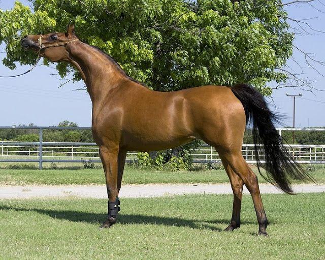 Cuanto cuesta un caballo: De $825 a $3.960 dolares en promedio.  Este resultado lo obtenemos por los precios del mercado según razas y edad...