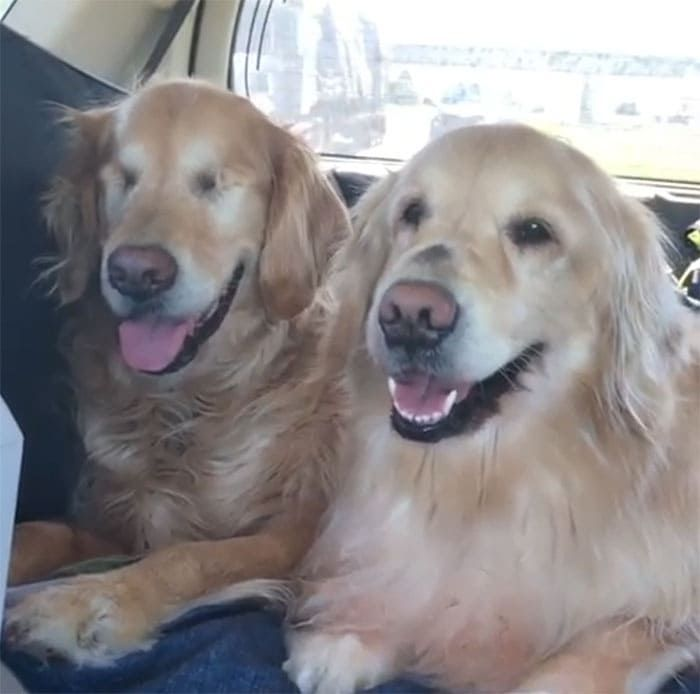 Blind Golden Retriever And His Own Seeing Eye Dog Are Warming