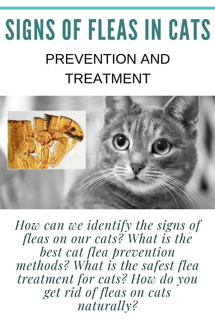 Signs Of Fleas In Cats How To Prevent And Treat Flea Infected Cat Cat Fleas Cat Fleas Treatment Cat Has Fleas