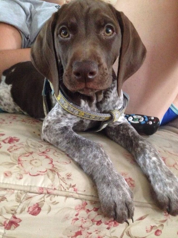 how to train a german shorthaired pointer