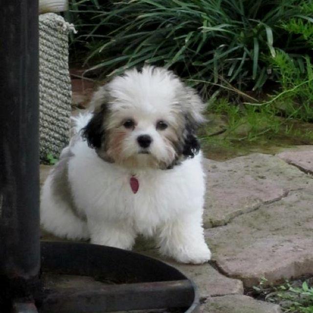 The best dog in the world... Sophie! (AKA... A Teddy Bear Dog!)