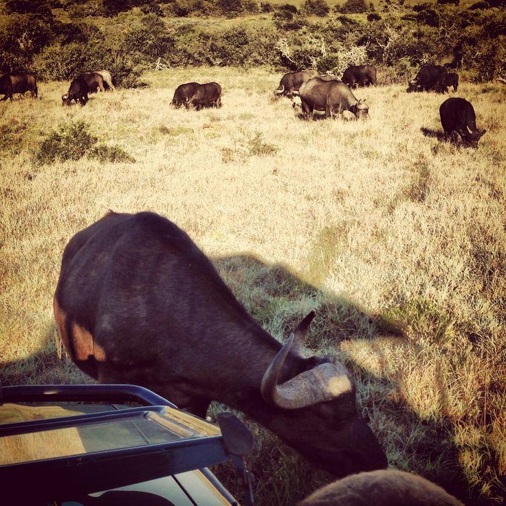 The buffalo herd.