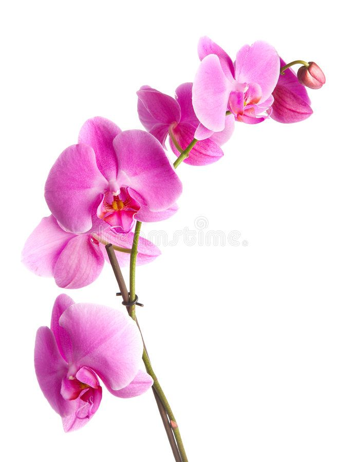 Pink Orchid Pink Flowers Orchid On A White Background Affiliate Orchid Pink Flowers Background White Orchid Drawing Pink Orchids Orchids Simple