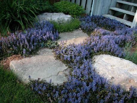 Grows under pines, can be mowed. Ajuga reptans 'Chocolate Chip' (Bugleweed 'Chocolate Chip', Creeping Carpet Bugle, Sicklewort, Carpenter's Herb, 'Valfredda', A. tenorii) {24 Pots - 3 1/2 in.}