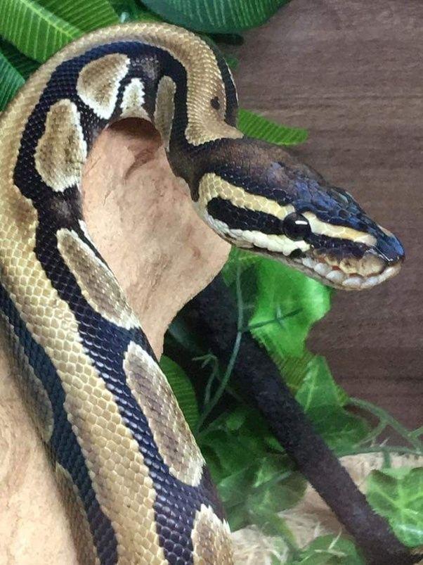 6 Arxikh Selida Koyora Pet Snake Ball Python Cute Snake