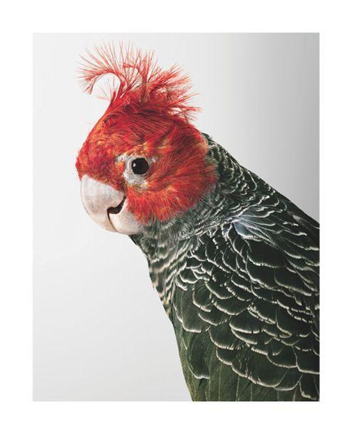 Leila Jeffery's cockatoo 1