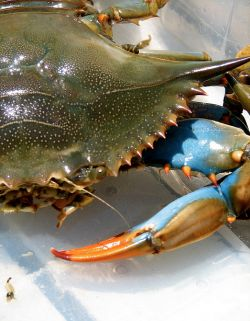 Looking for delicious blue crab recipes and ideas for an upcoming meal? Good, because you have found the spot with a large collection of some...