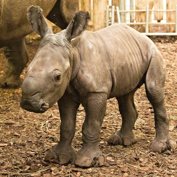 As thousands of viewers watched via live webcam on August 10, Izala the Southern White Rhinoceros gave birth to a healthy female calf at Burgers' Zoo. Learn more at ZooBorns.com and at http://www.zooborns.com/zooborns/2017/08/rhino-birth-viewed-live-at-burgers-zoo.html