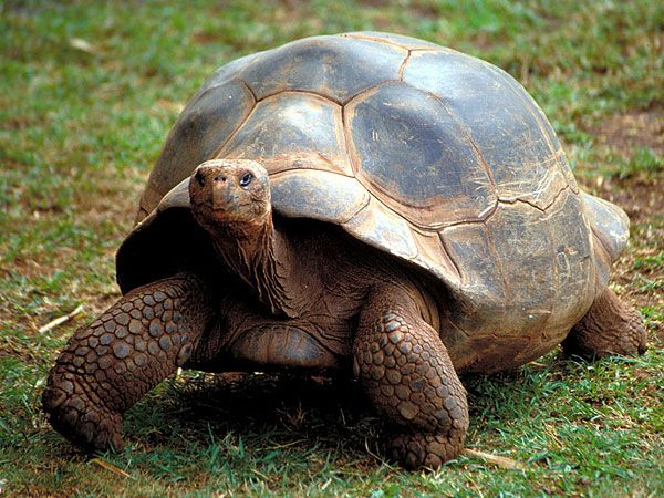 Galapagos Giant Tortoise-Endangered animals list-Our endangered animals | KONICA MINOLTA